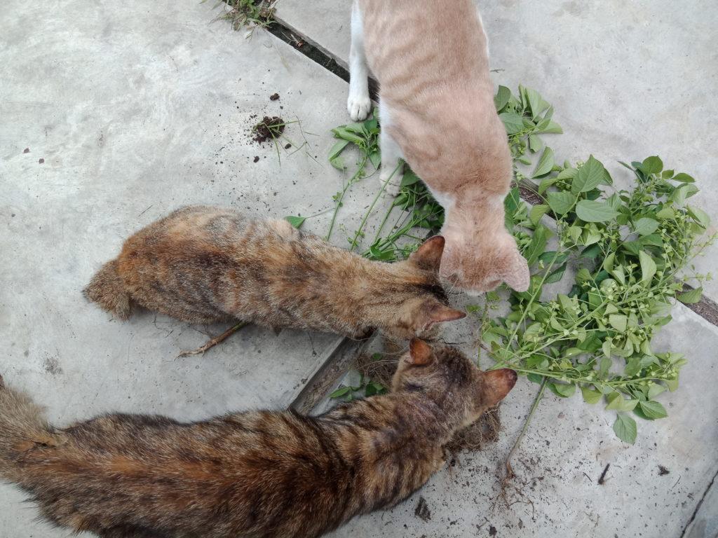 IMG20190115143645 | Catnip, Tanaman yang Bisa Membuat Kucing Anda Sangat Bahagia