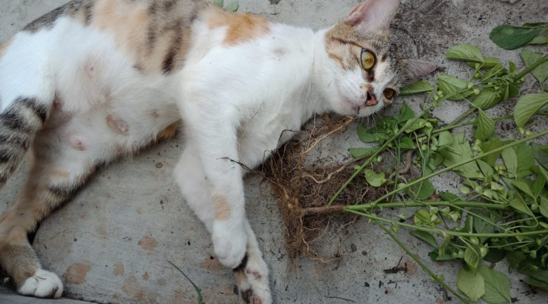 IMG 20190121 224130   Catnip, Tanaman yang Bisa Membuat Kucing Anda Sangat Bahagia