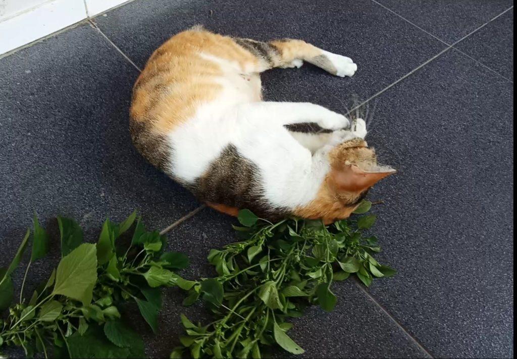 IMG 20190122 134613 | Catnip, Tanaman yang Bisa Membuat Kucing Anda Sangat Bahagia